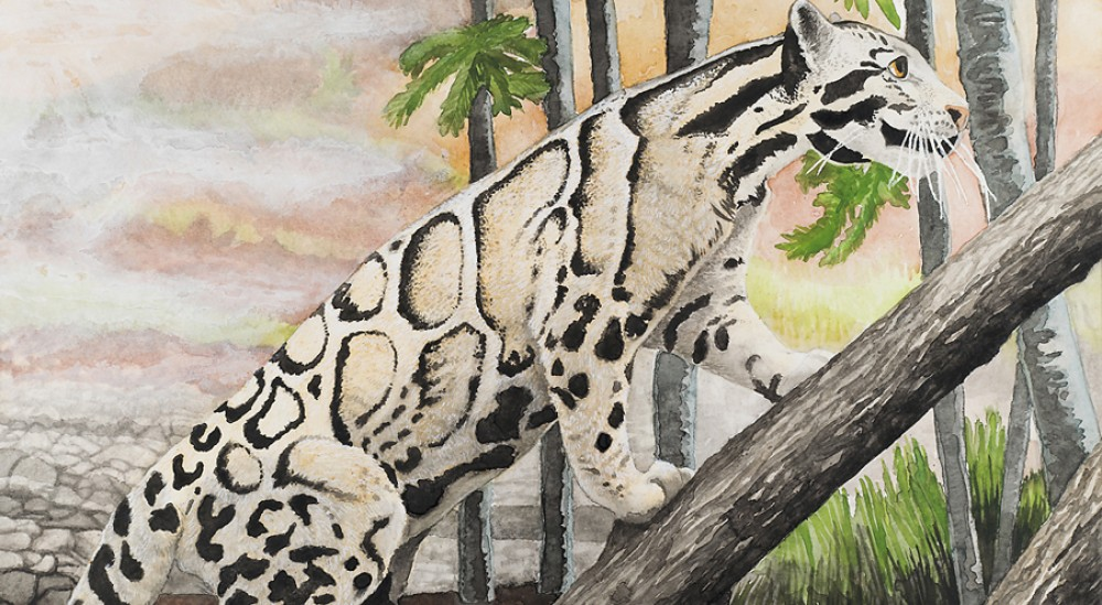 Clouded Leopard, 18 X 12